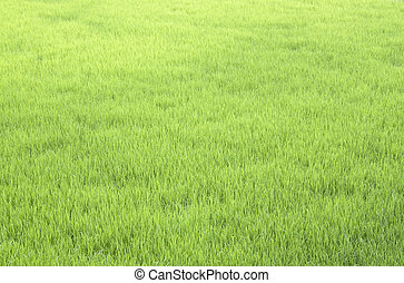 Lush green rice fields.