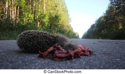Dead hedgehog on asphalt road - hedgehog is crushed by the...