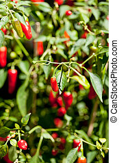 spicy red hot chilli pepper on tree in summer outdoor makro...