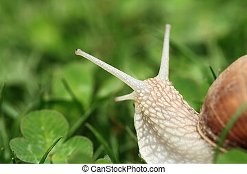 Snail. Helix pomatia. - Crawler snail. Creeper snail after...