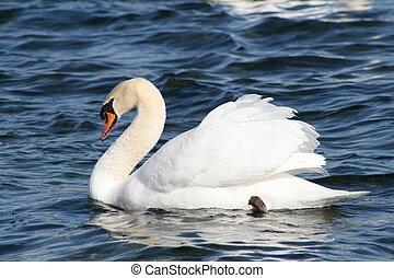 Mute Swan - mute swan in classic pose