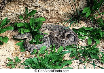 snake - venomous snake