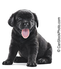 black labrador puppy dog - one black little labrador...
