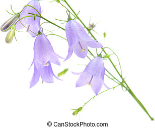 campanula, bellflower isolated on white