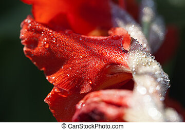 Bloom - water drops - Gladiola blossom with water drops in a...