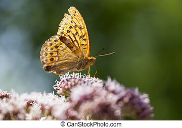 Silver-washed fritillary - Argynnis paphia in a Macro shot