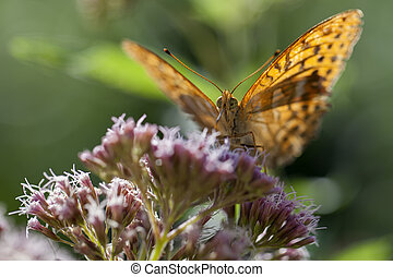 Silver-washed fritillary front view - Silver-washed...
