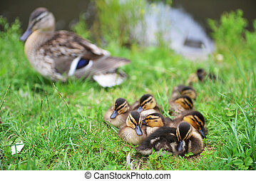 Mallard duck and her ducklings on  bank of  river