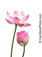 lotus on isolate white background