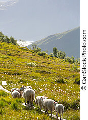 Sheep in Norway - Sheep  in Norway