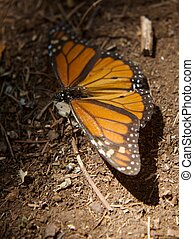 Monarch Butterfly lying on the dirt on the sanctuary of...