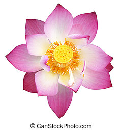 lotus on isolate white background.