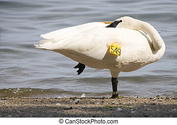 Swan taking a break - A white swan, with his head tucked...