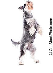 Agile schnauzer standing on his hind legs as he begs for...