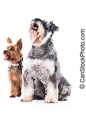 Two adorable obedient dogs, a schnauzer and yorkshire...