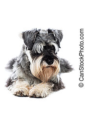 Schnauzer taking a rest lying on the floor facing the camera...