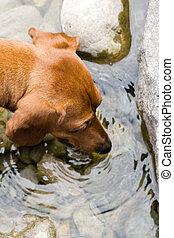 Mini Dachshund Thirst - Closeup of a miniature dachshund...