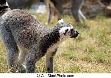 Ring-tailed lemur (Lemur catta) - Ring-tailed lemur (Lemur...