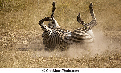 Sand Bathing Zebra