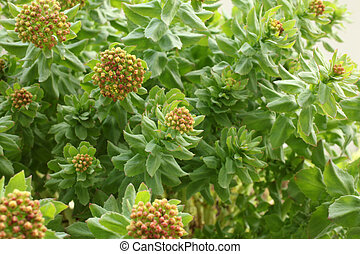 Rhodiola rosea, a horizontal picture