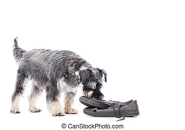 Schnauzer investigating an old pair of shoes standing...