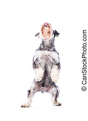 Schnauzer with perfect balance standing upright on his back...