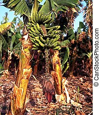 Banana plantation, Tenerife. - Green bananas growing on...
