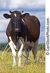 dairy cow grazing in a field