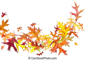 Flying Autumn Leaves - Flying autumn oak leaves isolated on...