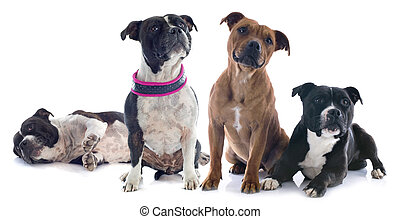 two staffordshire bull terrier - portrait of two...