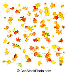Autumn Maple Leaves - Multi colored falling autumn maple...