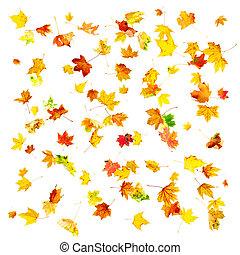 Autumn Maple Leaves - Multi colored falling autumn maple...