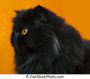 Male cat zoomed profile at orange background - Black male...