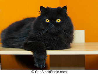 Male cat taking rest at orange background - Black male cat...