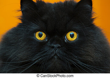 Frightened black male cat at orange background - Zoomed...