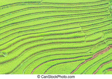 rice terraces - Rice Terraces in Northern of Vietnam