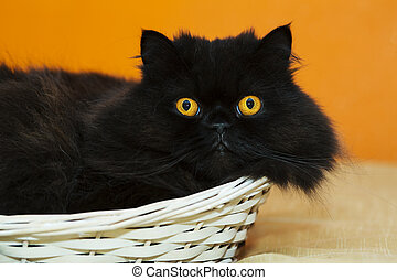 Male cat in basket on orange background - Funny male cat in...