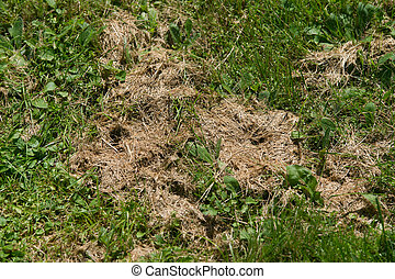 Dead Grass After Mowing - A nice view of patches of dead...