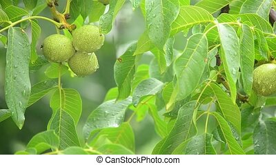 branches of a walnut tree during rainfall