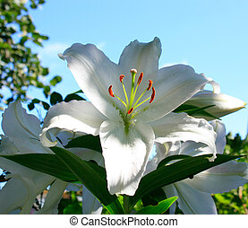 madonna lily - white lily on a background of blue sky