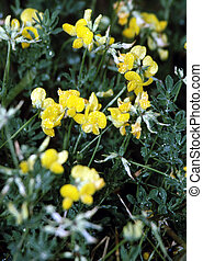 Birds-foot Trefoil H-1443 - bird\\\'s-foot trefoils (Lotus...