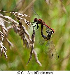 couple of red dragonfly - couple of red dragonflies on grass...