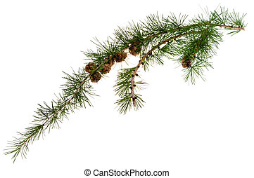 pine cones on branch of conifer tree - cones on branch of...