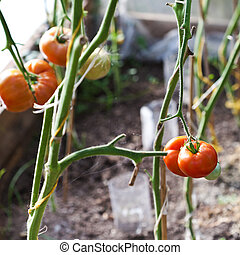 greenhouse with tomatoes - ripe tomatoes on hotbed in...