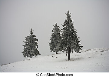 Pines covered in snow - Pine trees covered with snow in a...