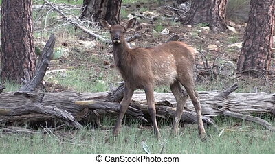 Cute Elk Calf - a cute elk calf in green meadow