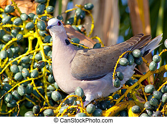 Dove Sitting In Turquiose Fruits - A rusty peach colored...