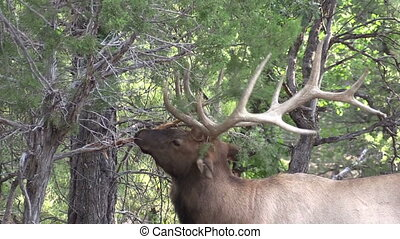 Bull Elk - a bull elk rubbing his antlers on a tree