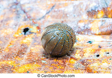 Pill millipede is rolling into ball form in rainforest.