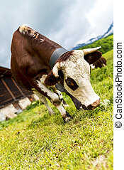 Alpine cow - Cow, farm animal in the french alps, Abondance...
